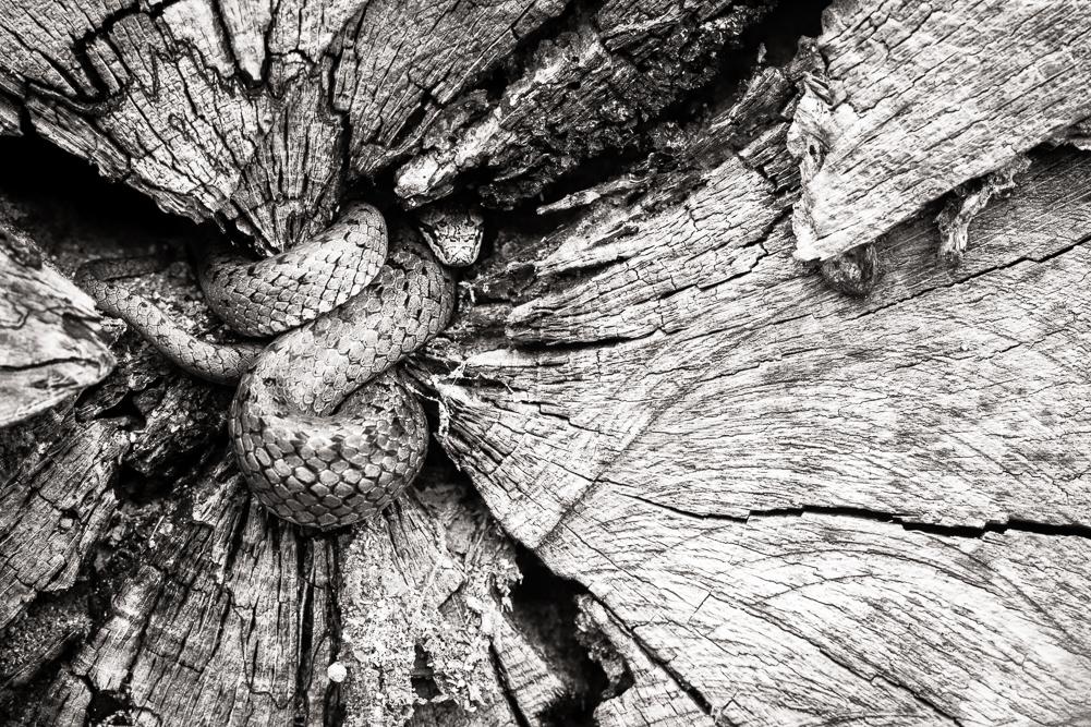 Smooth snake, rough wood