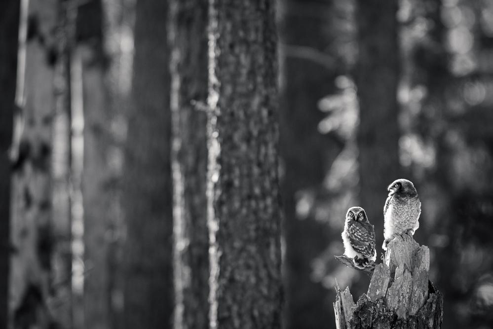 Hawk owlets