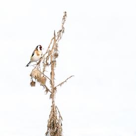 gallery-goldfinch