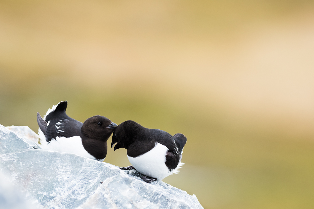 Tender moment in the auk colony