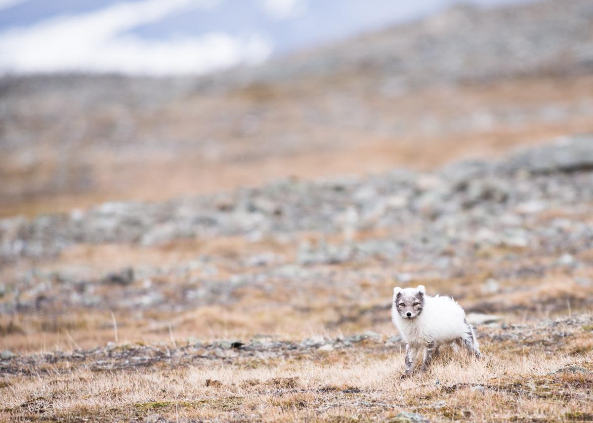 Arctic fox in Björndalen