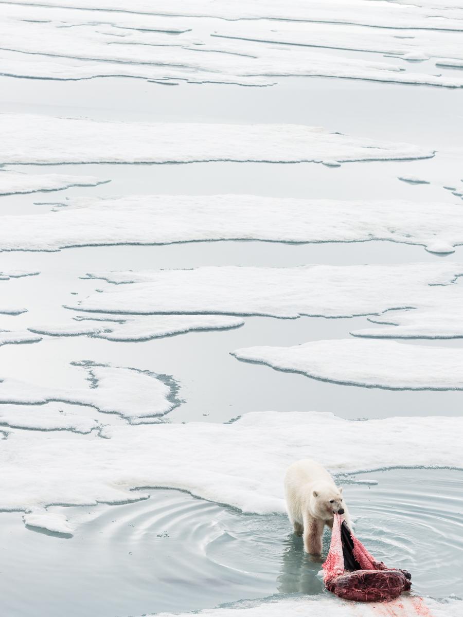 Polar bear with kill