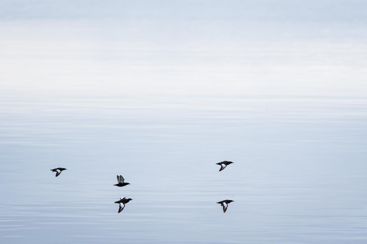 Brunnich's guillemots in flight