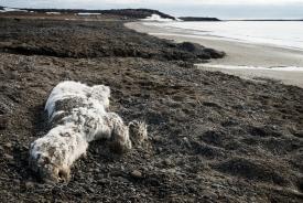 Dead young polar bear
