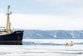 Polar bear rolling in front of MS Origo