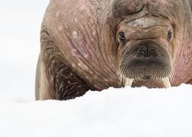 Walrus close-up