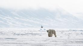 Skinny polar bear approaching