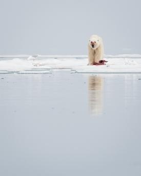 Grim looking polar bear