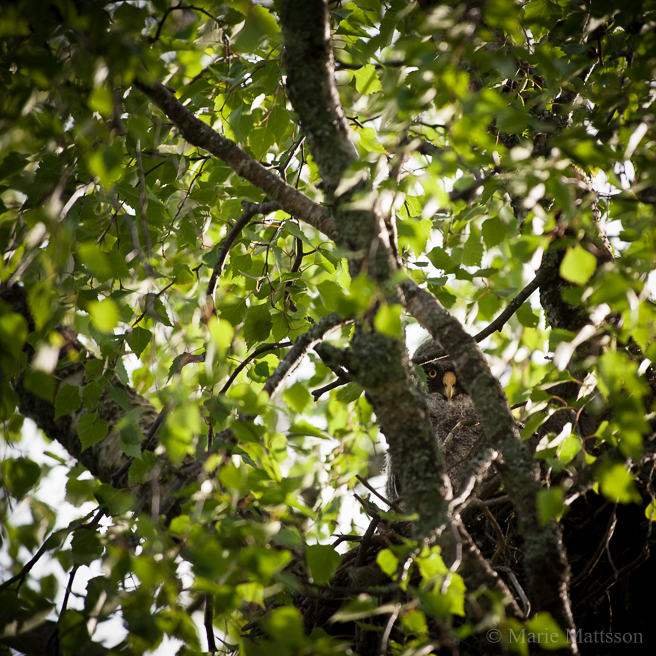 little_great_gray_owl-3074