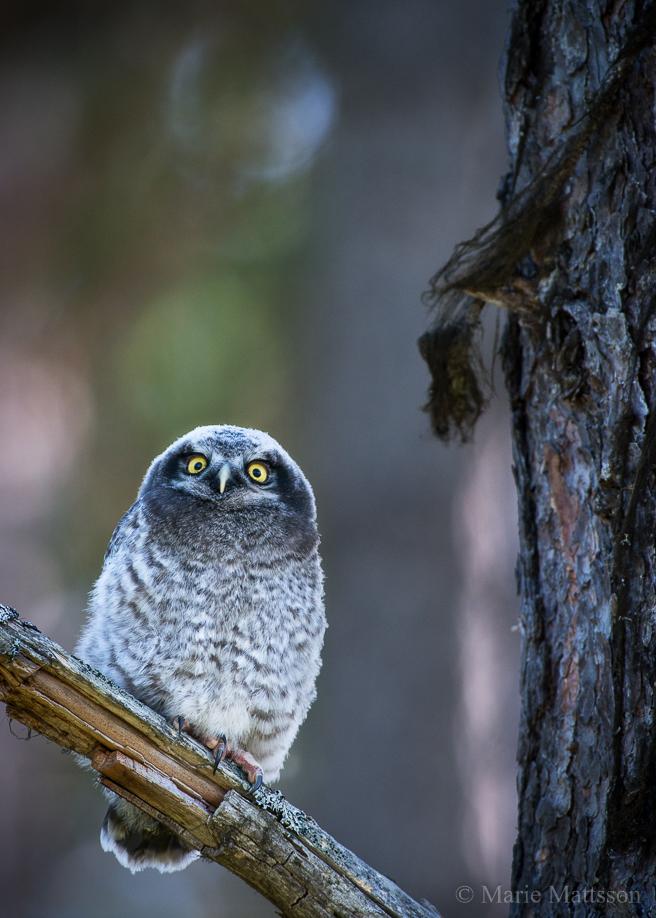 hawk_owl-8157