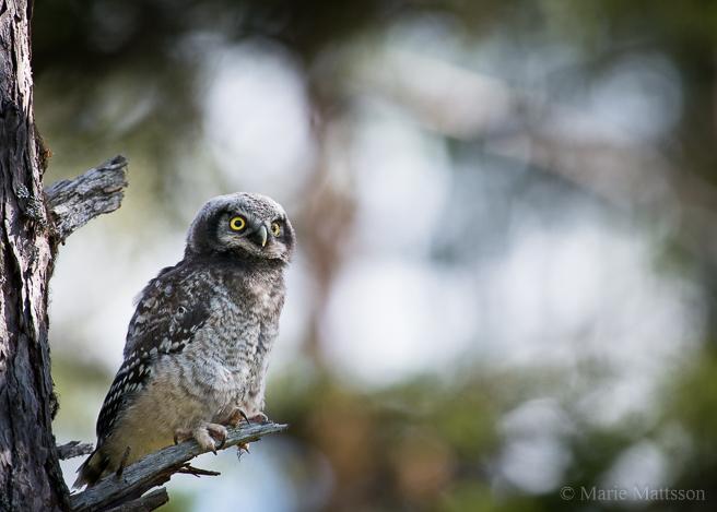 hawk_owl-8173
