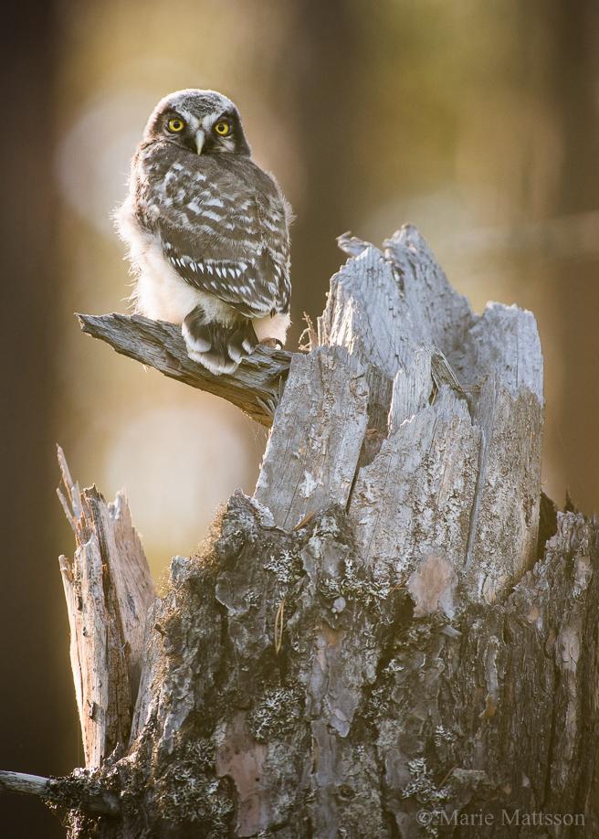 hawk_owl-8428