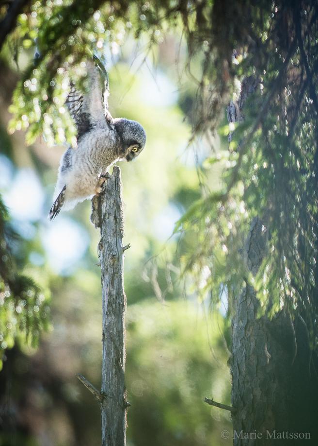 hawk_owl-8496