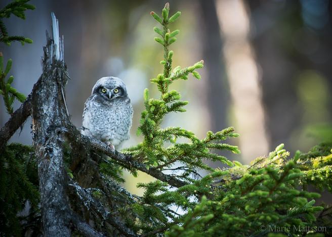 hawk_owl-8552