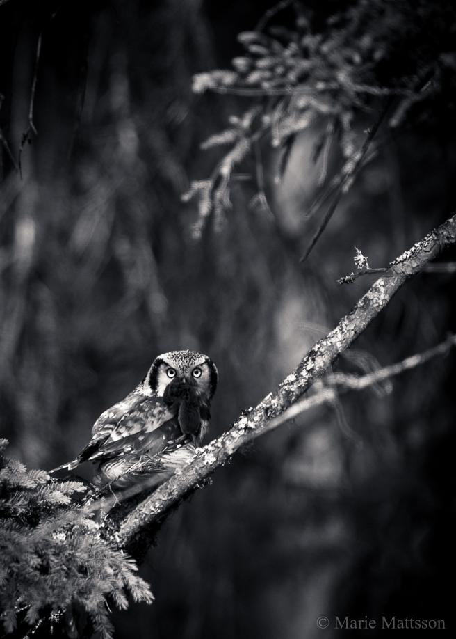 hawk_owl-9166