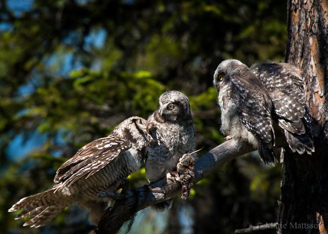 hawk_owl-9324