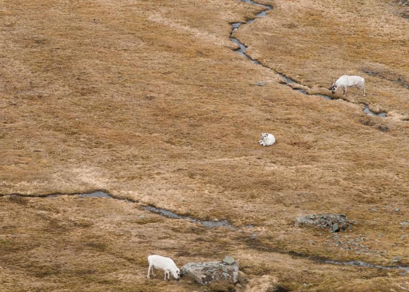 Nedanför branten betade några renar.