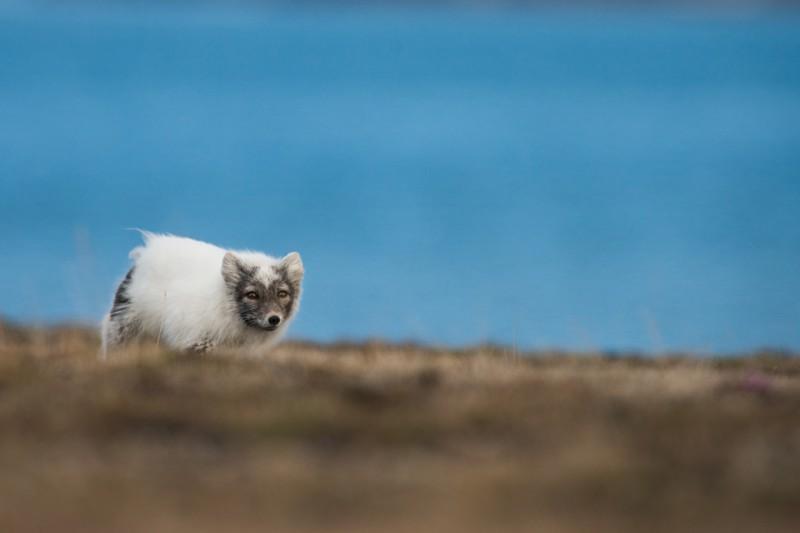 Polarräven sprang mest med nosen i gräset, troligen för att hitta ägg från markhäckande fåglar. Ibland tittade den dock upp, och då gällde det att vara snabb!