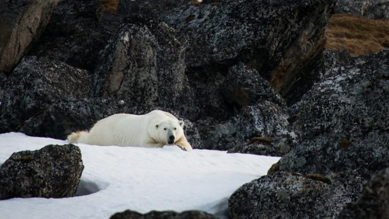 Isbjörnen sov gott och obekymrat, den har inte mycket att oroa sig för. Ibland lyfte den huvudet för att spana in oss, och med tanke på hur mycket båten gungade just då, fick man bli glad om den överhuvudtaget kom med i bilden.