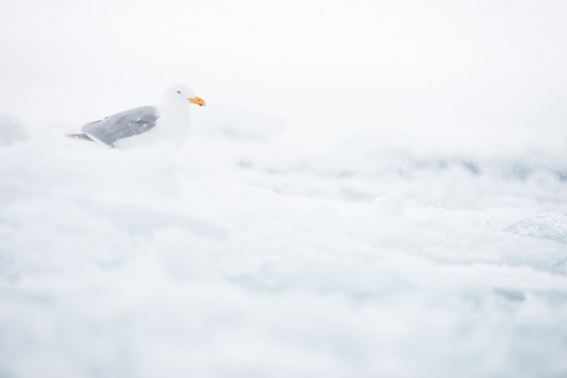En vittrut på isen nära glaciären. Vittruten är Svalbards största rovfågel, den kallas även för Borgmästaren eftersom den ofta sitter högst upp på skär eller isberg och spanar ut över sitt område.