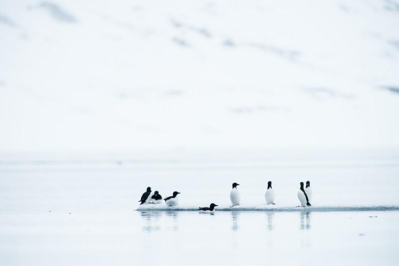 Spetsbergsgrisslorna såg nästan ut som pingviner där de stod på isflaket.