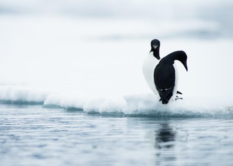 Riktigt vackra är de. De är lika skickliga i vattnet som i luften och kan dyka ner till 150 meter i jakt på föda.