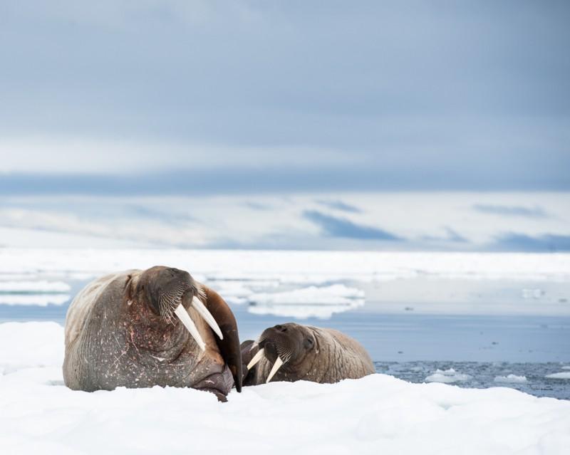 Vi var alla helt tagna av denna fantastiska stund med valrossarna. De låg där och frustade och mumlade. Och när den ena kliade sig kunde vi tydligt höra skrapljuden! Vid ett tillfälle var vi så nära som tre meter ifrån dem, och de bara låg där obrytt och myste.