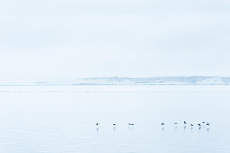 Ju närmre vi kom Alkefjellet, desto fler spetsbergsgrisslor såg vi...