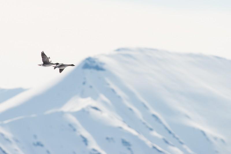 Ett par spetsbärgsgäss flög förbi utanför Andøyene.