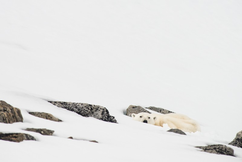 Det är verkligen inte lätt att hitta isbjörnarna när de ligger så här!