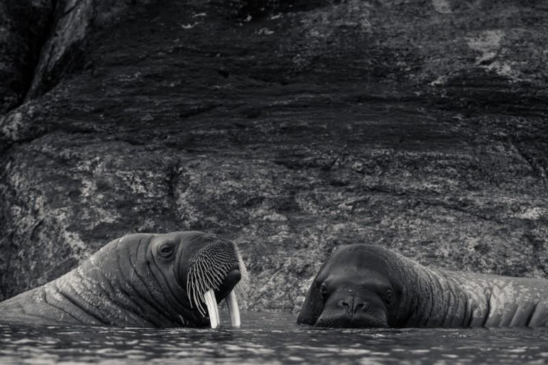 Valrossarna som tyckte att vi skulle kolla på dem istället för den tråkiga isbjörnen!