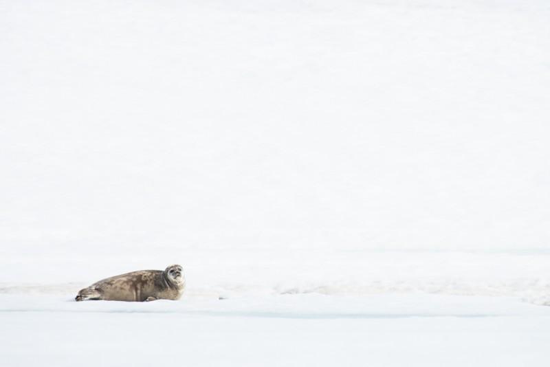 En vikare låg på isen och tittade på oss.
