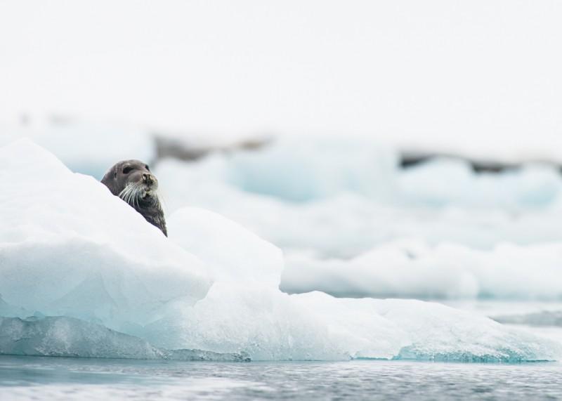 Storsälar ligger ofta på isflaken framför glaciären. Vilket såklart lockar till sig en och en annan björn.