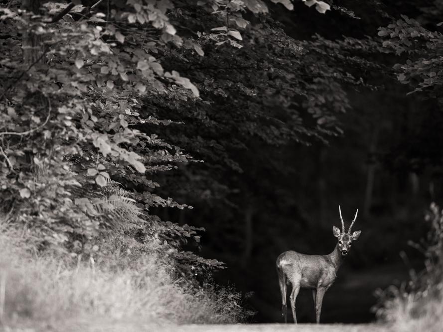 Summer buck