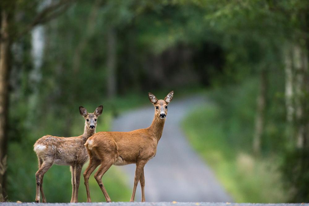 Roe(d) deers