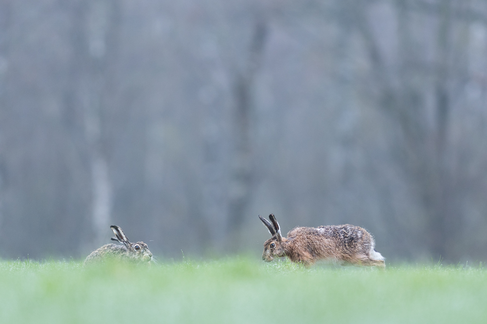 Misty morning hares