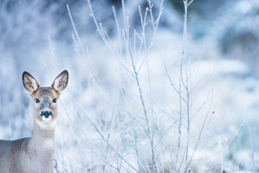 Frosty roe doe