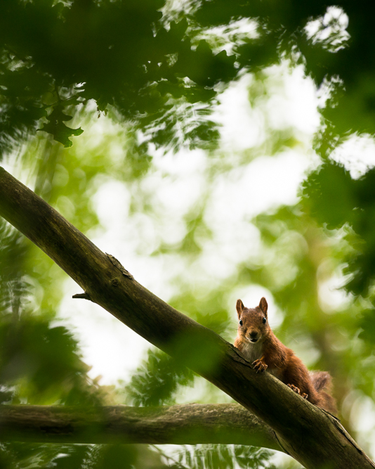 Squirrel in the canopy