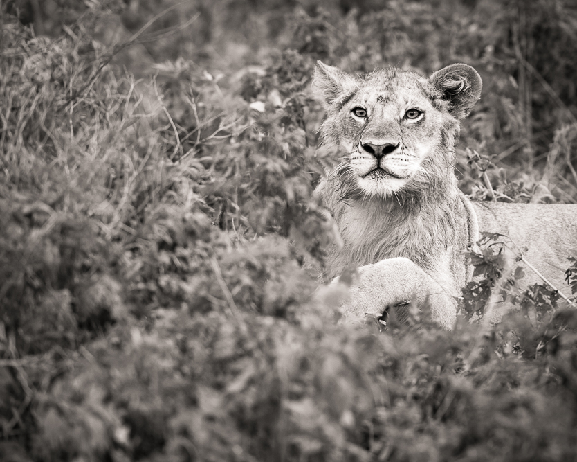 gallery-lion-bw