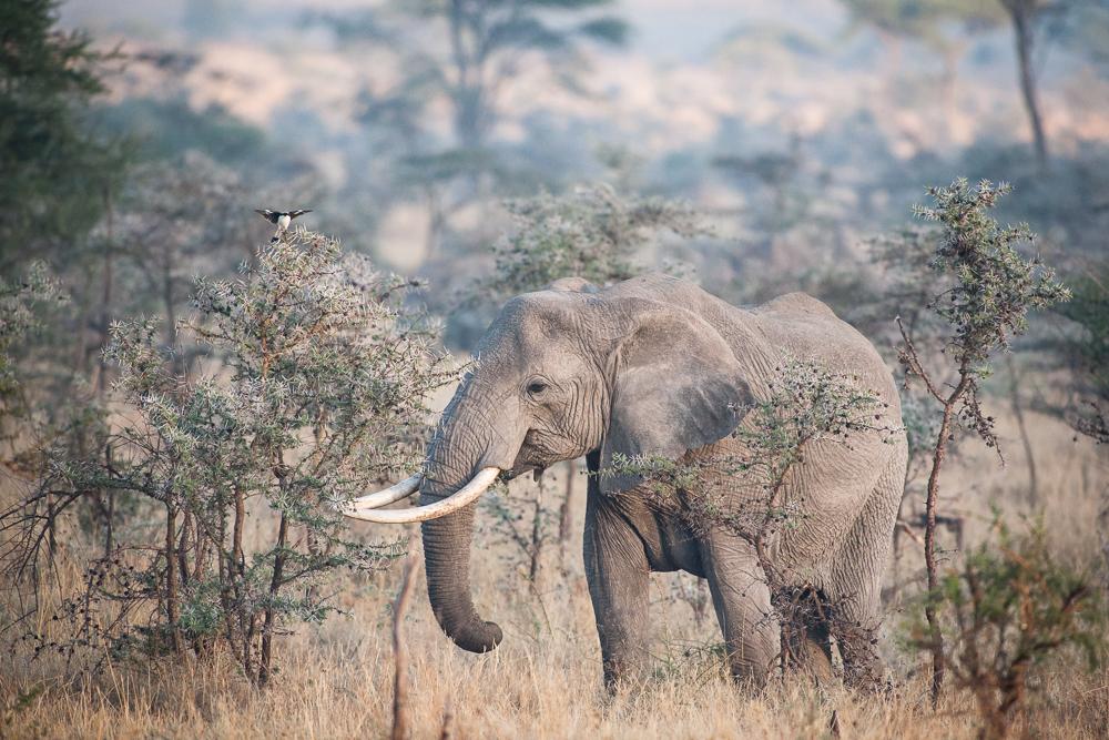 Elephant and shrike