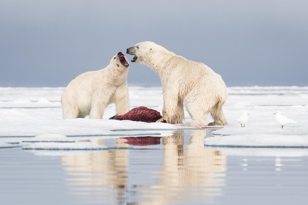 Polar bear quarrel