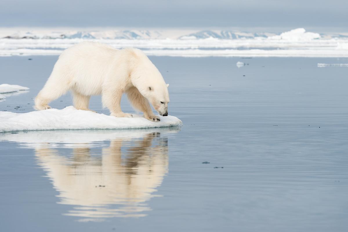 Polar bear reflection