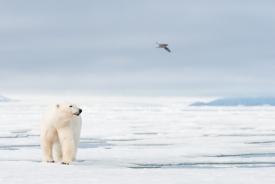 Polar bear and fulmar