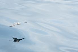 Fulmar soaring over calm waters